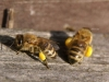 Pollensammlerinnen