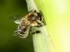 Die Biene und der Mais