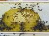 Brutwabe mit Honigkranz 1